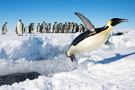 An Emperor penguin (Aptenodytes forsteri) in Antarctica jumping out of the water