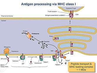 HLA-A - Image: Peptide Loading Complex