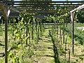 Pergola with grapevines.jpg