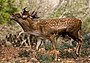 Persian Fallow Deer 1.jpg