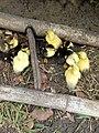 Petits canards pobé.jpg