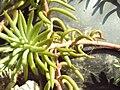Peut-être Crassula Tetragona 002 byPsilo59.jpg