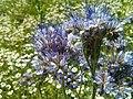 Phacelia tanacetifolia (freddy2001).jpg