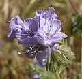 Phacelia tanacetifolia 2 2003-04-07.jpg