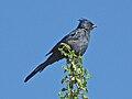Phainopepla nitens -Tucson -Arizona-8b.jpg