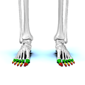 Phalanges of the foot01 anterior view.png
