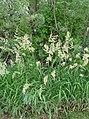 Phalaris arundinacea next to Columbia River 4.jpg