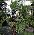 Philodendron Sao Paulo 3zz.jpg