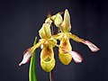 Phragmipedium sargentianum 'Really Red' x self (42179071562).jpg
