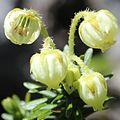 Phyllodoce aleutica (flower inside).JPG