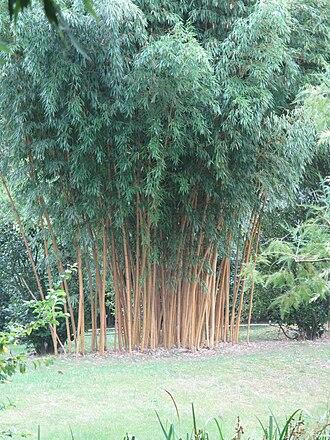 Phyllostachys bambusoides - Image: Phyllostachys bambusoides holochrysa