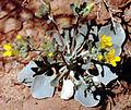 Physariaacutifolia.jpg