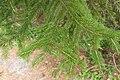 Picea jezoensis 03.jpg