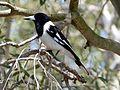 Pied Butcherbird. Cracticus nigrogularis (15207948764).jpg