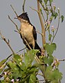 Pied Cuckoo Clamator jacobinus Juvenile by Dr. Raju Kasambe DSCN2857 (4).jpg