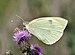 Pieris brassicae qtl1.jpg