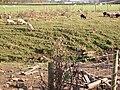 Piglets at Dunterley, Northumberland - geograph.org.uk - 590448.jpg