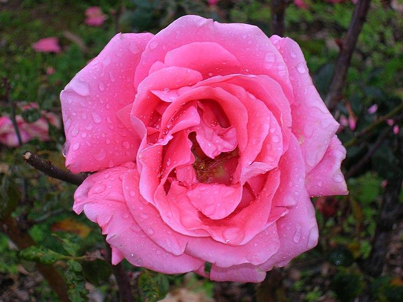 ורד ורוד