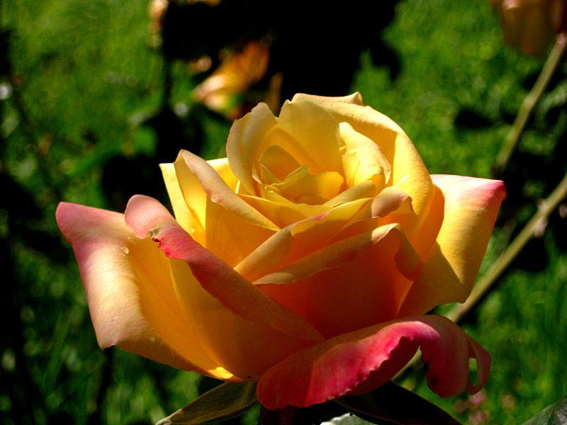 ורד ממצפה הימים