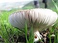 PikiWiki Israel 7652 mushroom of magic.JPG