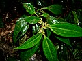 Pilea rotundinucula - 圓果冷水麻 by 石川 Shihchuan - 001.jpg