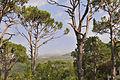 Pine Trees (4057137412).jpg