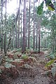 Pine trees at Cold Ash Common - geograph.org.uk - 975949.jpg