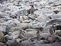 Pinguino de Humboldt Reserva Nacional Pinguino de Humboldt 07.jpg