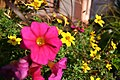 Pink-Flower-in-front-of-yellow-ones.JPG