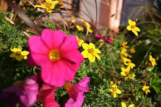 Pink-Flower-in-front-of-yellow-ones.JPG