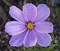 Pink Flower (4982863455).jpg