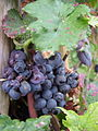 Pinot noir cluster with damage grapes.jpg