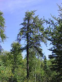 Pinus banksiana 2-eheep (5098080118).jpg