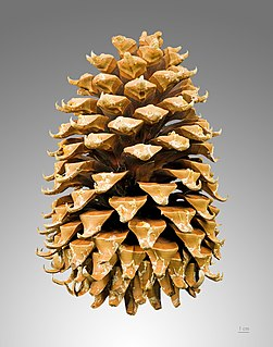 Conifer cone Reproductive organ on conifers