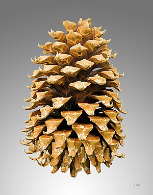 Conifer cone - A mature female Coulter pine (Pinus coulteri) cone, the heaviest pine cone