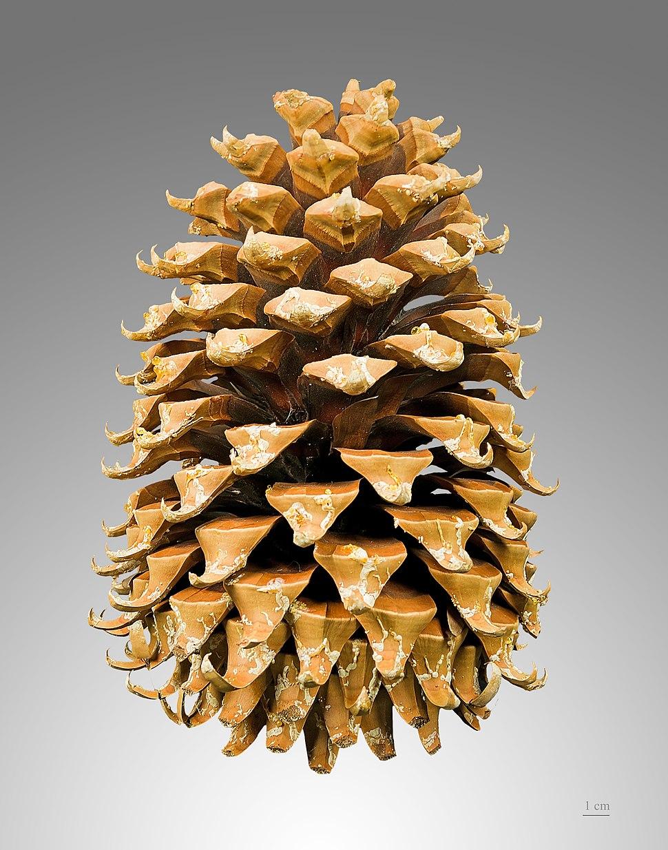 Pinus coulteri MHNT Cone