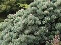 Pinus culminicola.jpg
