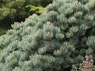 Pinus culminicola - Image: Pinus culminicola