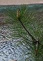 Pinus densata foliage.jpg