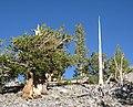 Pinus longaeva 13.jpg