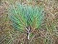 Pinus muricata foliage Mendocino.jpg