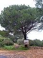 Pinus pinea 2010-3-07 DehesaBoyaldePuertollano.jpg