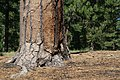 Pinus ponderosa LassenCA.jpg