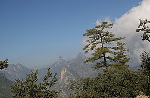 Pinus teocote.jpg