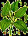 Piper nigrum - Köhler–s Medizinal-Pflanzen-107.png