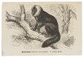 Pithecia leucocephala - 1700-1880 - Print - Iconographia Zoologica - Special Collections University of Amsterdam - UBA01 IZ20200232.tif