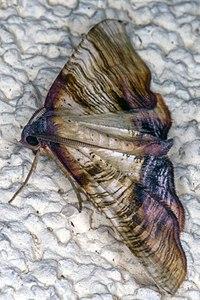 Plagodis dolabraria 04(js) Lodz (Poland).jpg