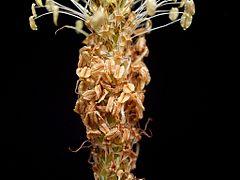 Plantago lanceolata 13 ies.jpg