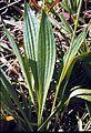 Plantago lanceolata leaf1 (14756036778).jpg