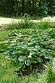 Plantes aquatiques-Jardins de Callunes (1).jpg